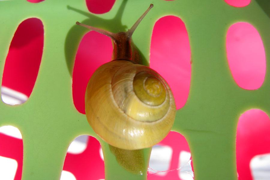 Escargot dans la corbeille à linge IMG_1129snail