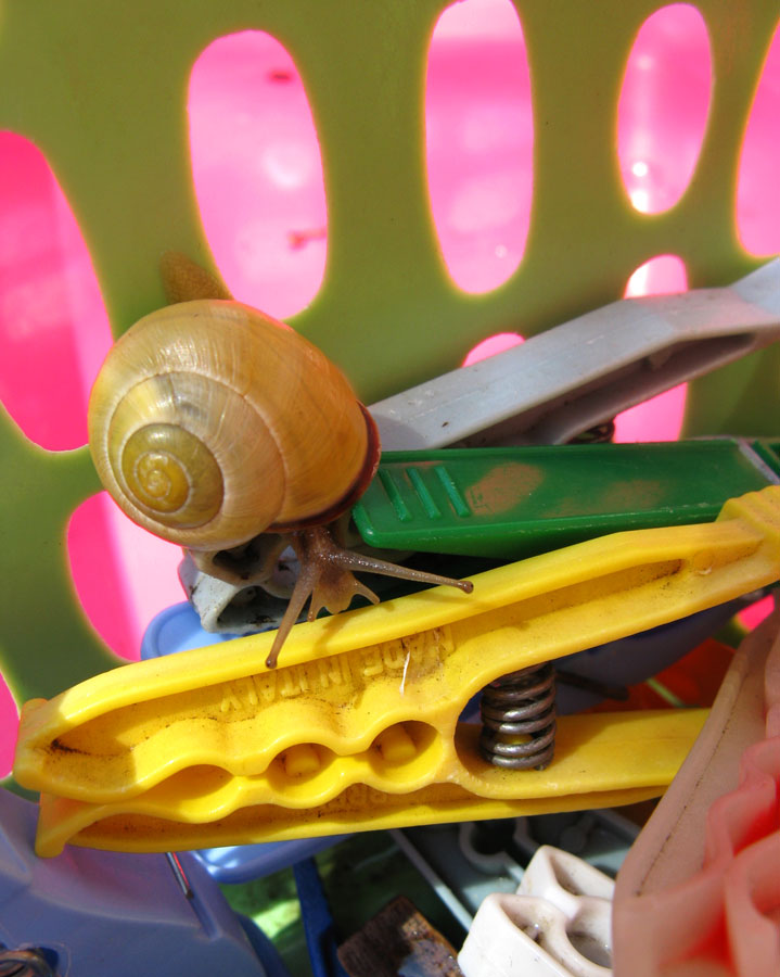 Escargot dans la corbeille à linge IMG_1132snail