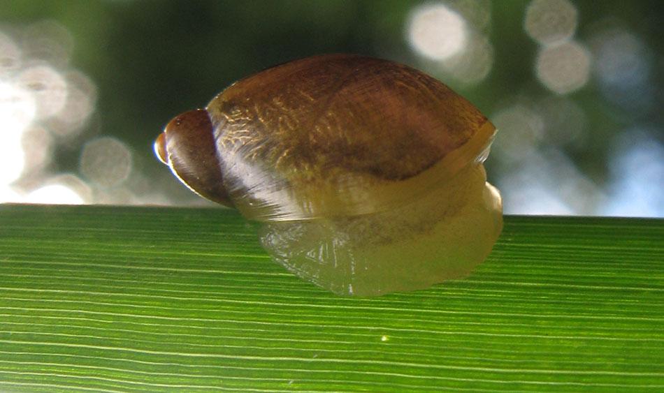 Petit escargot de Haute Loire IMG_1156snail