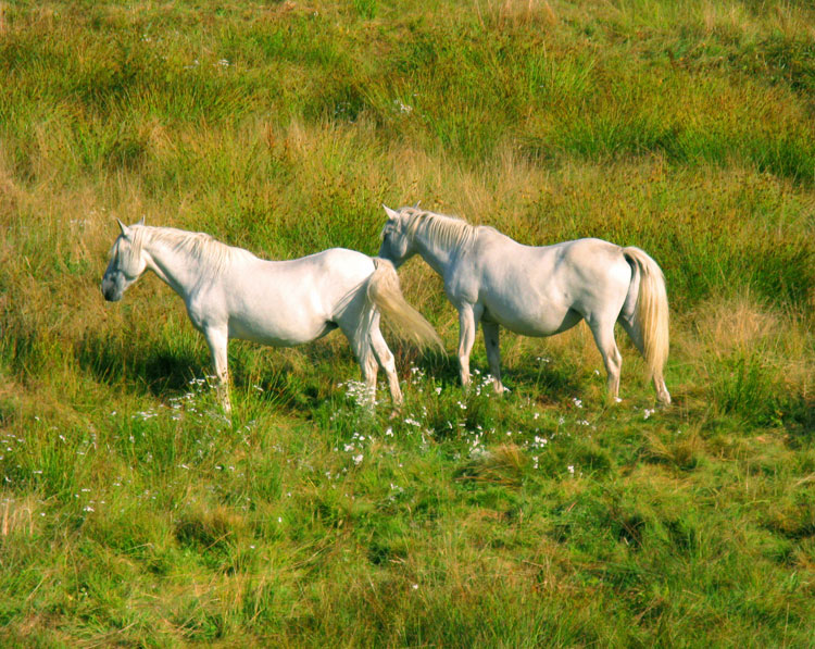 Quelle espèce de cheval? Chevaux0013