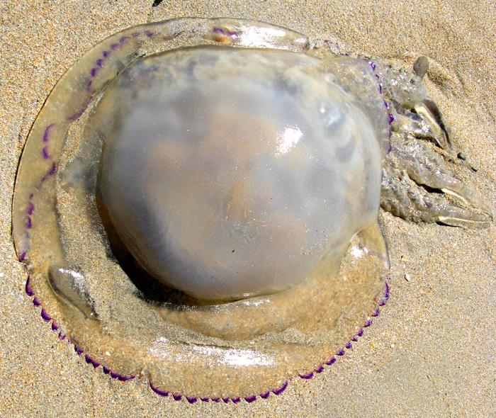 Une meduse échouée à identifier... Meduse